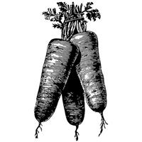 Wurzelgemüse Sorte Karotte