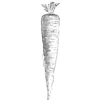 Wurzelgemüse Sorte Petersilienwurzel